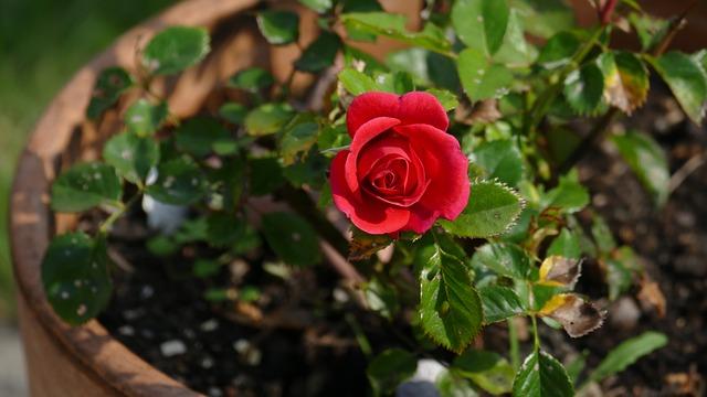 minirůže v květu
