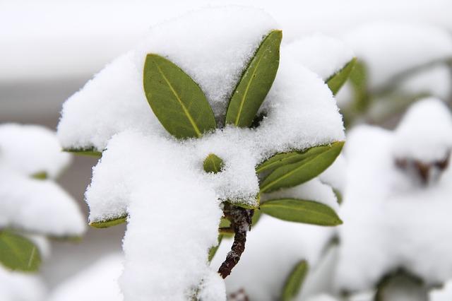 zasněžené rostliny