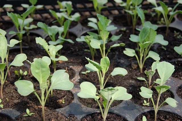 Klíčení semínek vám zajistí zásobu vitamínů nejen na zimu